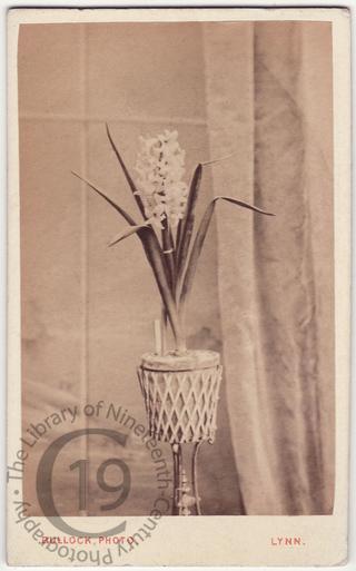 A hyacinth in a pot