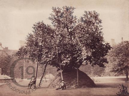Milton's Mulberry Tree, Cambridge