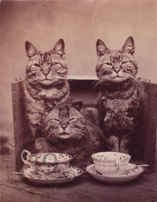 Three tabby cats