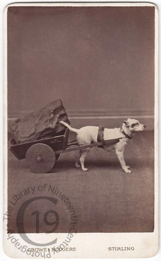 A Jack Russell with a small dog cart
