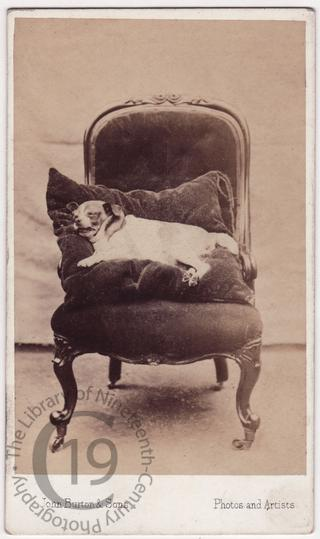 A dead dog on an armchair